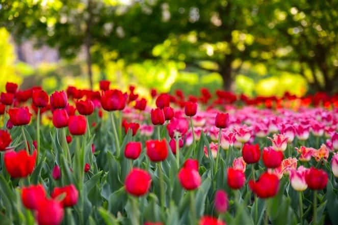 Festival de la tulipe